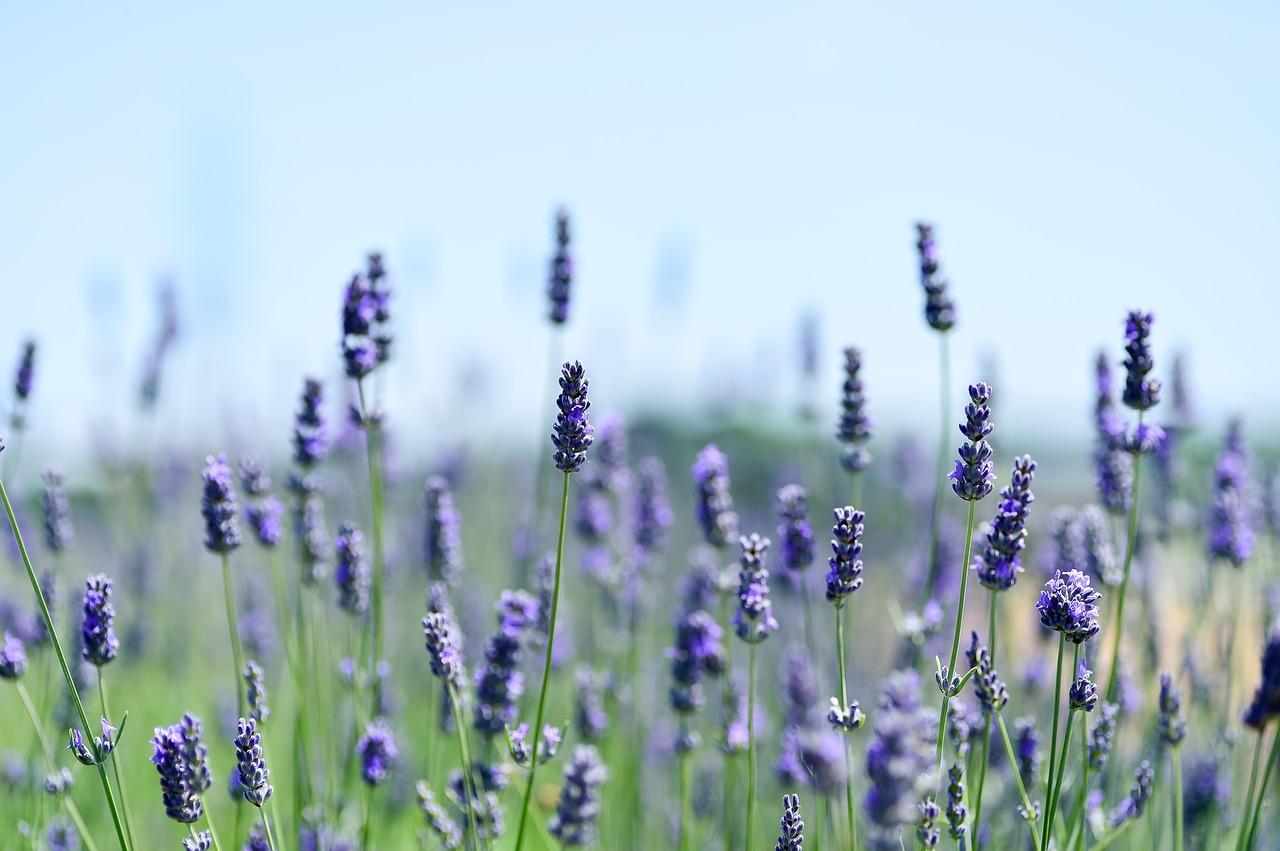 Lavendel / Joanneke Rogaar